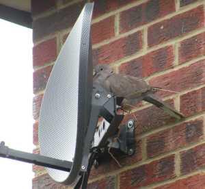 Dove failed nest building.
