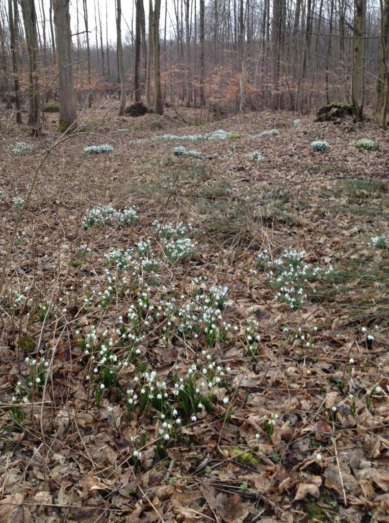 snowdrops-04-03-17